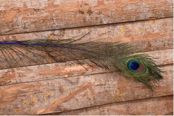 Φτερό Παγωνιού 5τεμ F8717